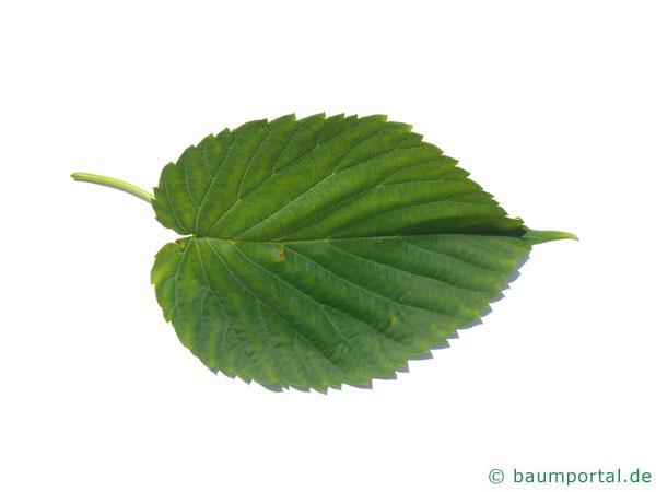 Taschentuchbaum (Davidia involucrata) Blatt