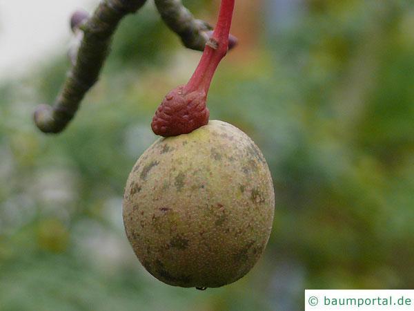 Taschentuchbaum (Davidia involucrata) Steinfrucht