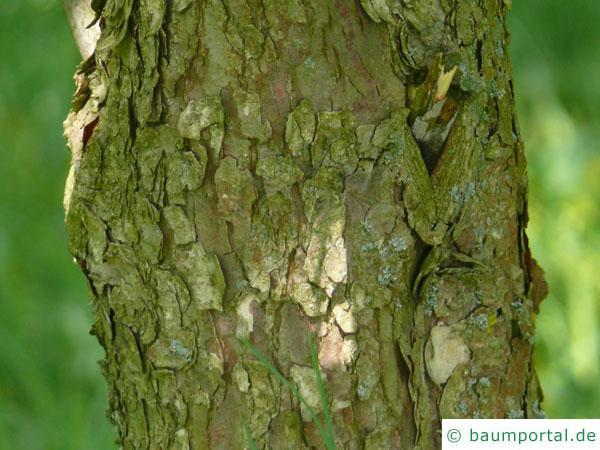 Taschentuchbaum (Davidia involucrata) Stamm / Rinde / Borke