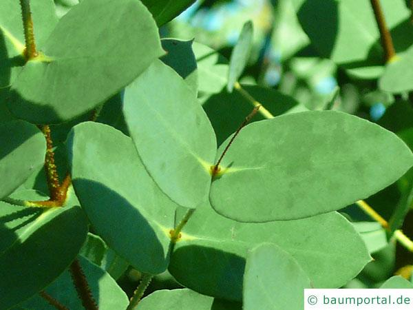 tasmanischer Schneeeukalyptus (Schneeeukalyptus (Eucalyptus coccifera) Blätter