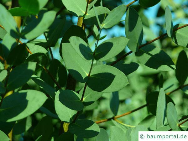 tasmanischer Schneeeukalyptus (Eucalyptus coccifera) Blattstellung