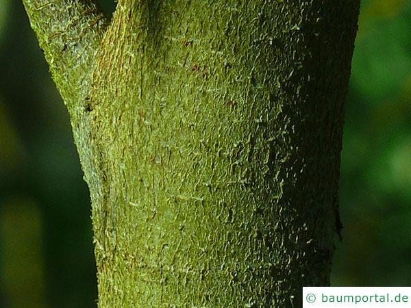 tasmanischer Schneeeukalyptus (Schneeeukalyptus (Schneeeukalyptus (Eucalyptus coccifera) Stamm / Rinde / Borke