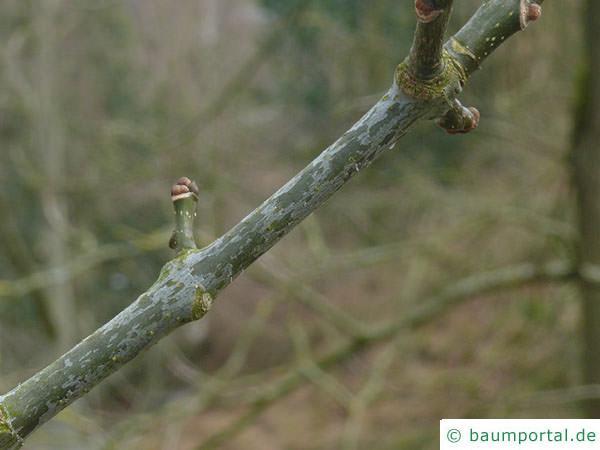 Texas-Esche (Fraxinus texensis) Seitenknospe