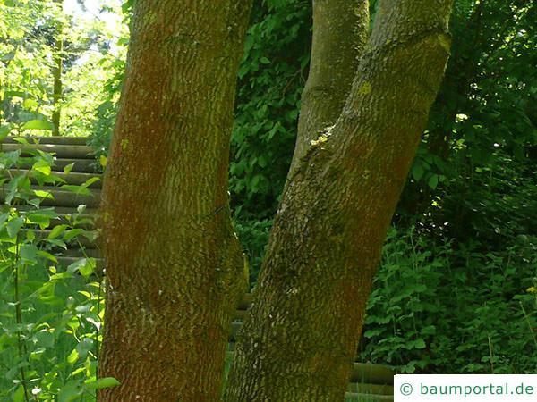 Texas-Esche (Fraxinus texensis) Stamm