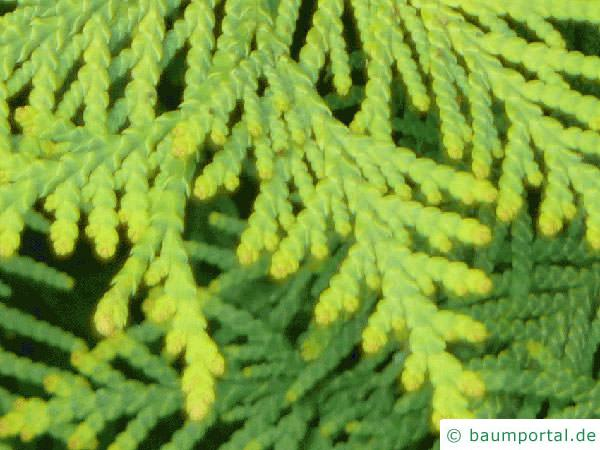 Thuja (Thuja occidentalis) Nadel