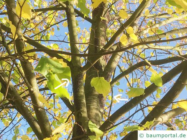 Lindenwanze  (Oxycarenus lavaterae) in der Krone