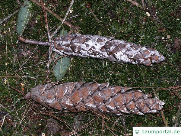 Tränen-Kiefer (Pinus wallichiana) Zapfen