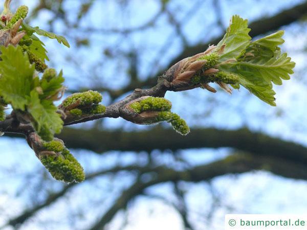 Trauben-Eiche (Quercus petraea) Austrieb im Frühjahr