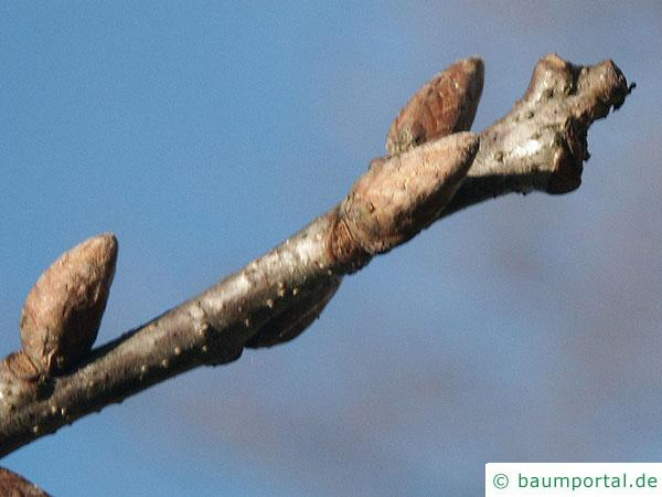 Trauben-Eiche (Quercus petraea) Endknospen