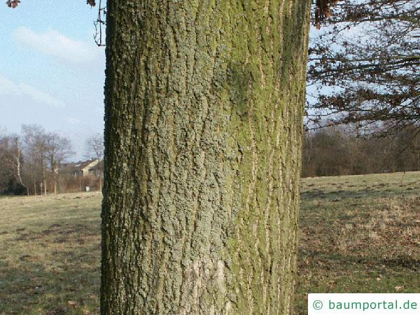 Trauben-Eiche (Quercus petraea) Stamm / Rinde / Borke