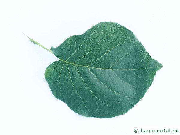 Trauben-Kirsche (Prunus padus) Blatt