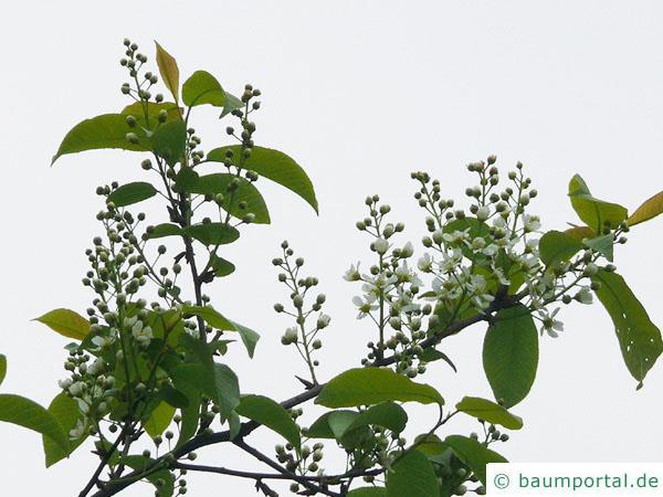 Trauben-Kirsche (Prunus padus) Blüte