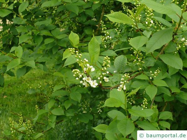 Trauben-Kirsche (Prunus padus) Blüten