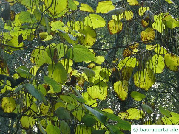 Trompetenbaum (Catalpa bignonioides) Blätter im Herbst