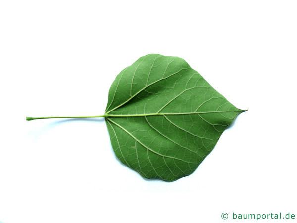 Trompetenbaum (Catalpa bignonioides) Blattunterseite