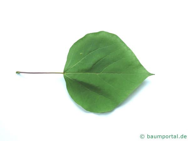 Trompetenbaum (Catalpa bignonioides) Blatt