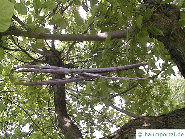 Trompetenbaum (Catalpa bignonioides) Früchte