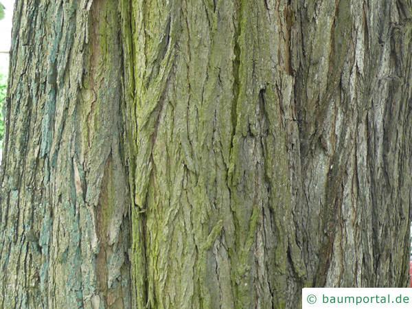 Trompetenbaum (Catalpa bignonioides) Stamm