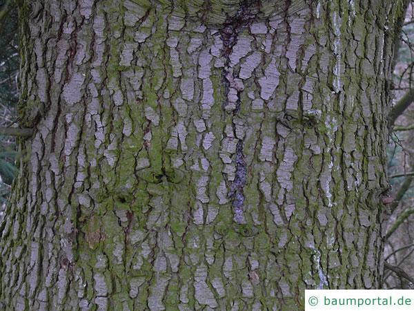 türkische Zeder (Cedrus libani subsp. stenocoma) Stamm / Rinde / Borke