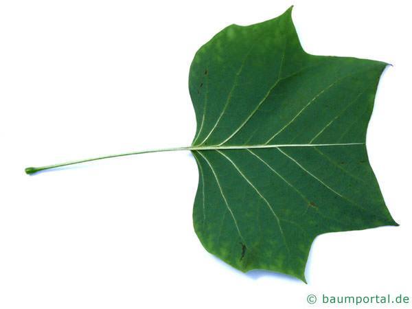 Tulpenbaum (Liriodendron tulipifera) Blattunterseite