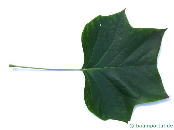 Tulpenbaum (Liriodendron tulipifera) Blatt