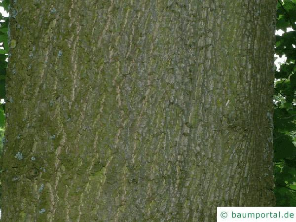 Tulpenbaum (Liriodendron tulipifera) Stamm