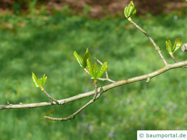 Tupelobaum (Nyssa sylvestris) Austrieb