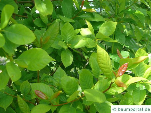 Tupelobaum (Nyssa sylvestris) Blätter