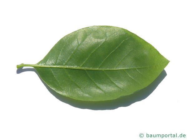 Tupelobaum (Nyssa sylvestris) Blattunterseite