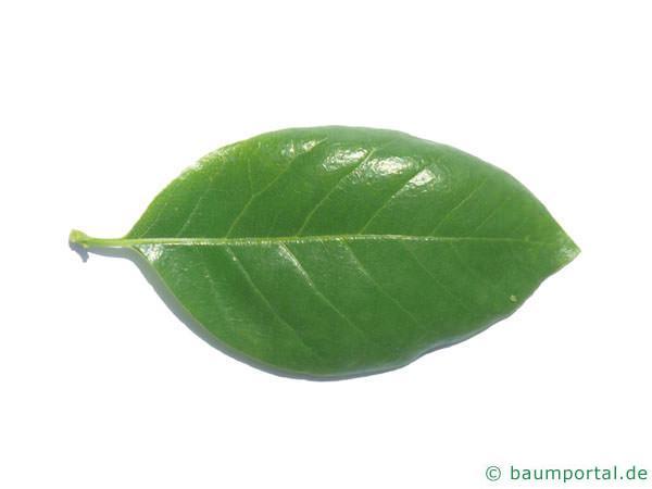 Tupelobaum (Nyssa sylvestris) Blatt