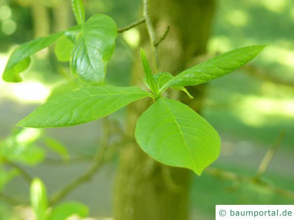 Tupelobaum (Nyssa sylvestris) Blattstellung