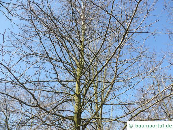 Tupelobaum (Nyssa sylvestris) Krone im Winter