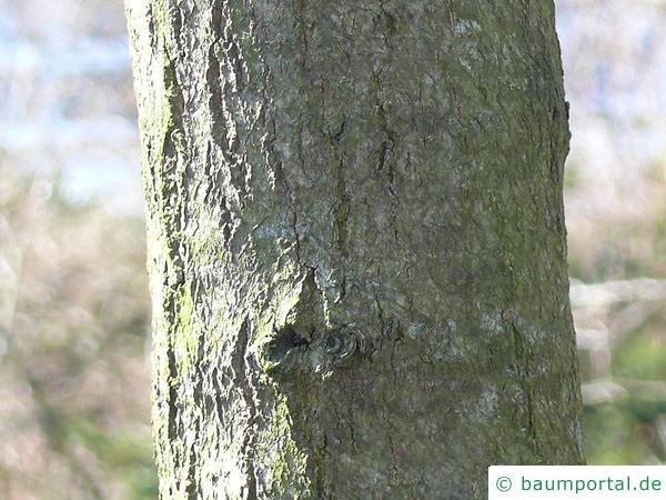 Tupelobaum (Nyssa sylvestris) Stamm
