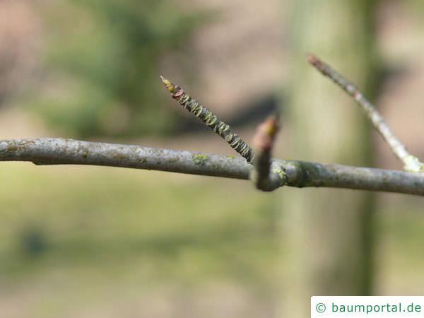 Tupelobaum (Nyssa sylvestris) Zweig