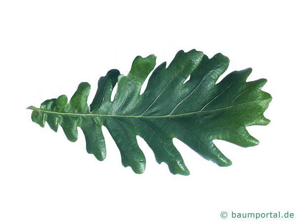 Ungarische Eiche (Quercus fainetto) Blatt