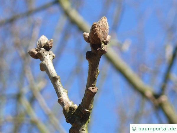 Ungarische Eiche (Quercus fainetto) Knospen