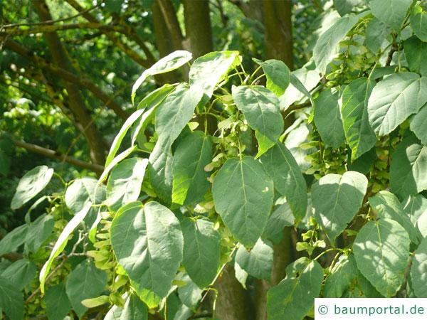 Vermont-Ahorn (Acer spicatum) Blätter
