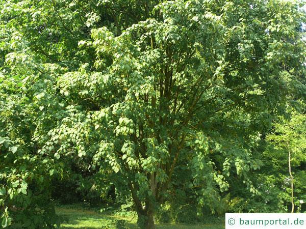 Vermont-Ahorn (Acer spicatum) Baum im Sommer