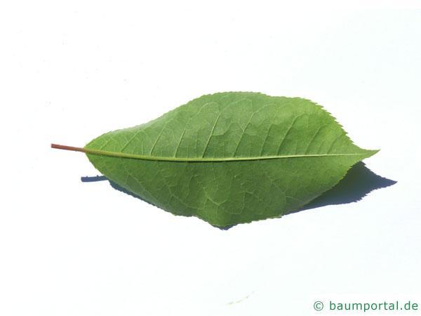 virginische Trauben-Kirsche (Prunus virginiana) Blatt Unterseite