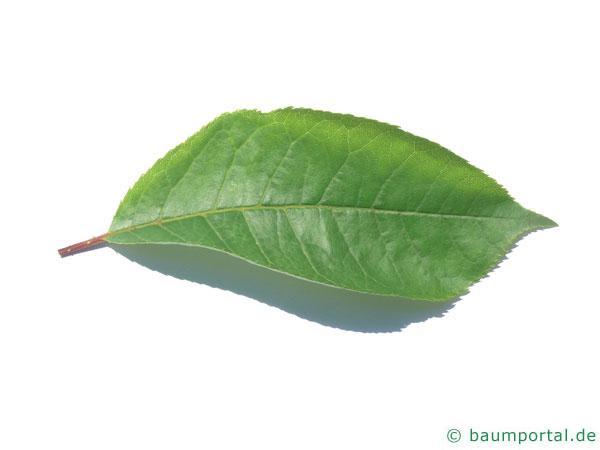 virginische Trauben-Kirsche (Prunus virginiana) Blatt
