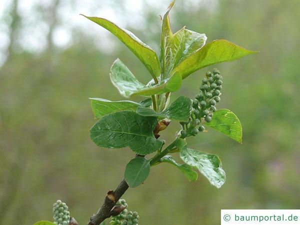 virginische Trauben-Kirsche (Prunus virginiana)  Blatt und Blüte im Austrieb