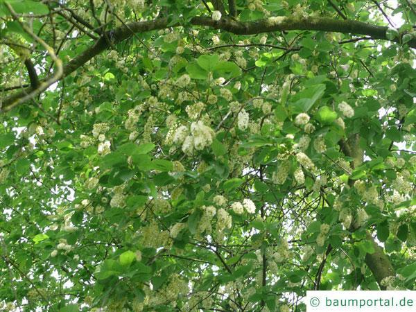 virginische Trauben-Kirsche (Prunus virginiana) Blüten-Krone