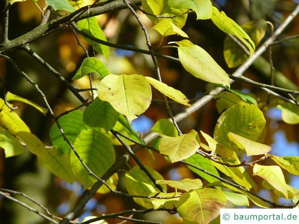 virginische Trauben-Kirsche (Prunus virginiana) gelbe Herbstfärbung