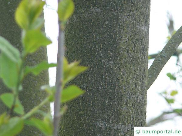 virginische Trauben-Kirsche (Prunus virginiana) Stamm / Rinde / Borke