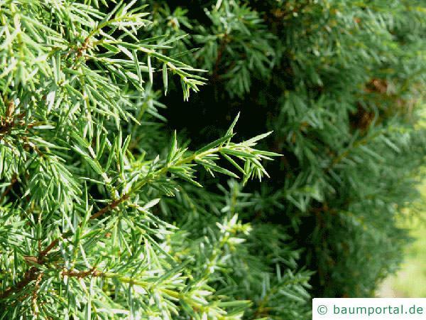 Wacholder (Juniperus communis) Zweig