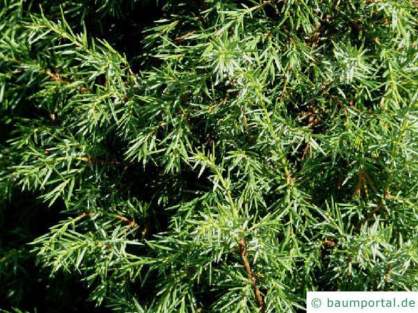Wacholder (Juniperus communis) Zweige