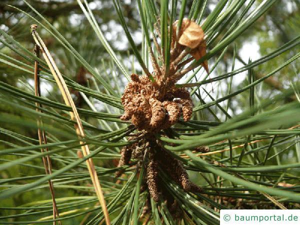 Wald-Kiefer (Pinus sylvestris) Blüte
