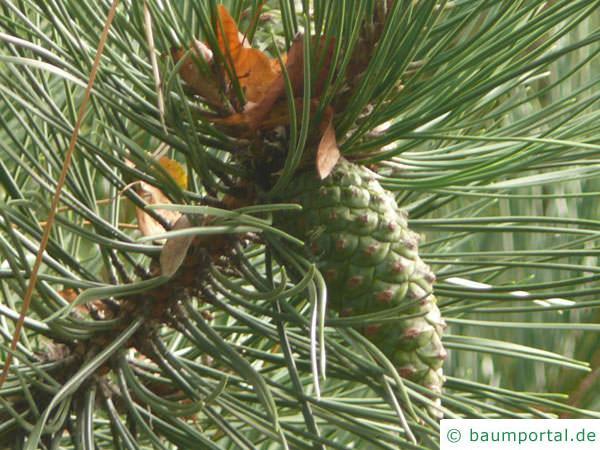 Wald-Kiefer (Pinus sylvestris) Zapfen