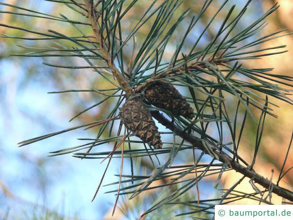 Wald-Kiefer (Pinus sylvestris) Zapfenpaar
