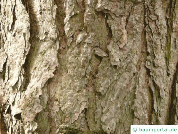 Wald-Kiefer (Pinus sylvestris) Stamm